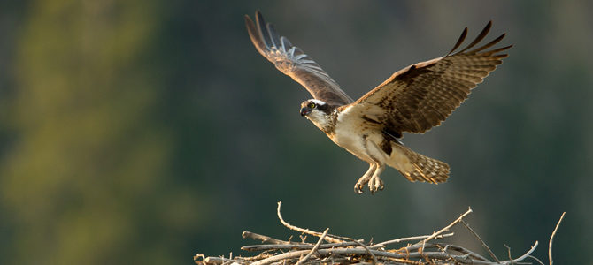 an osprey returning to its nest