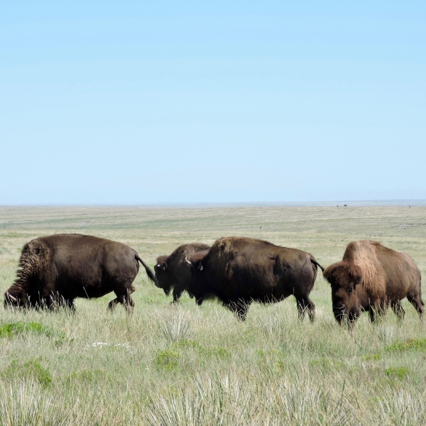 Native grazers like bison keep the grasslands healthy.